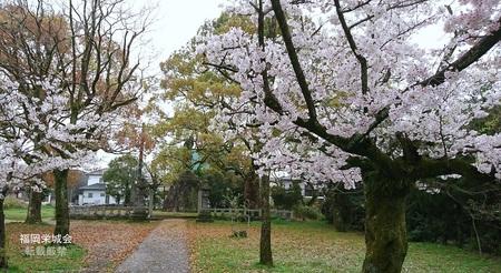 万部島の桜.jpg