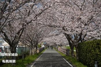 桜並木に歩行者.jpg