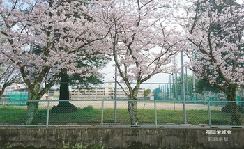 母校 校庭の桜.jpg