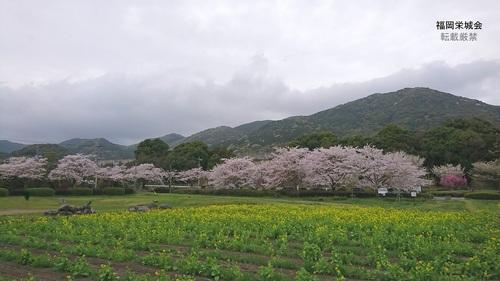 金立コスモス園.jpg